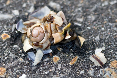 Thumbnail: A crushed, broken snail and his shell