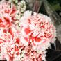 Thumbnail: Carnations