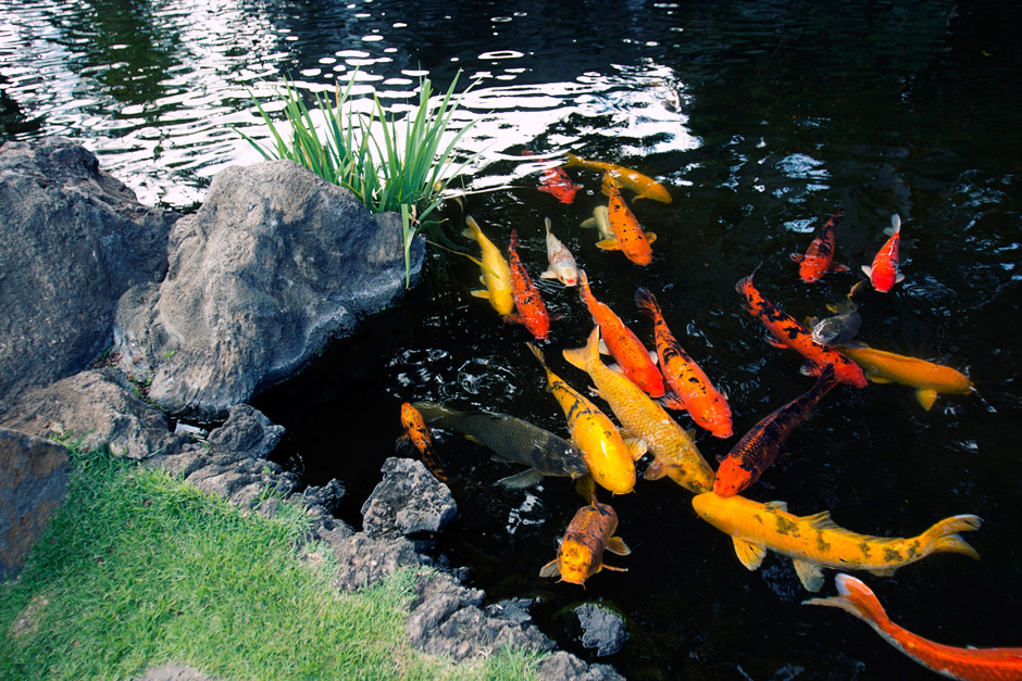 Maui wowie equivocality for Salt in koi pond
