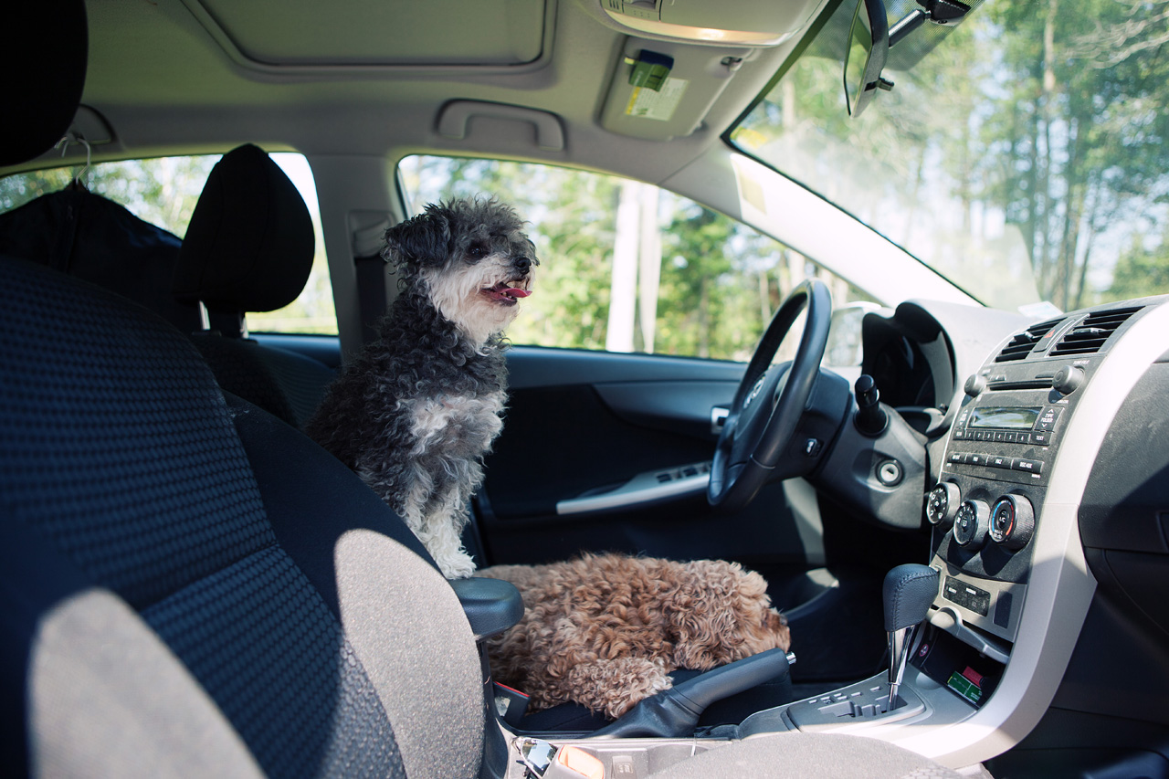 two dogs in a car