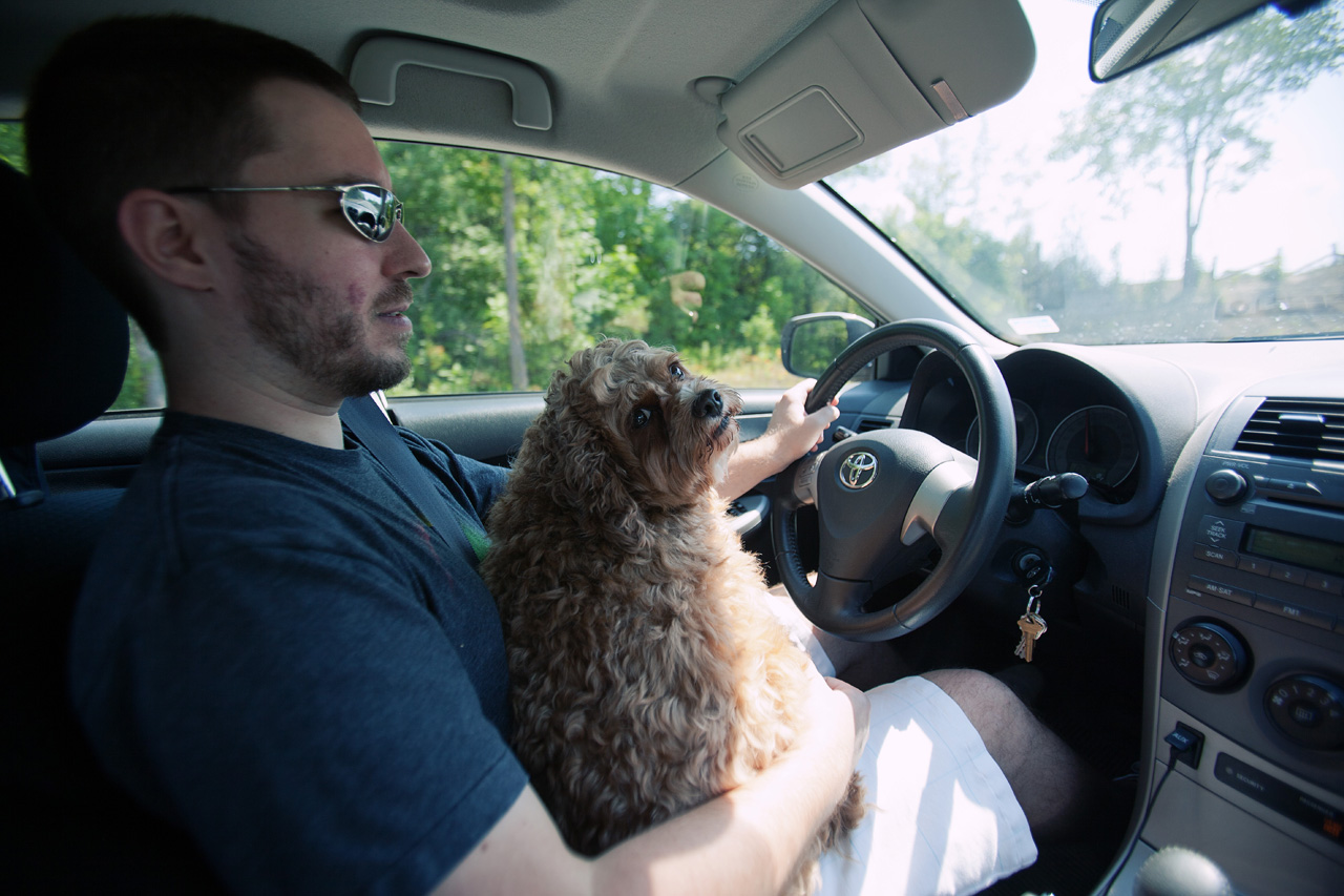 dog on lap in car