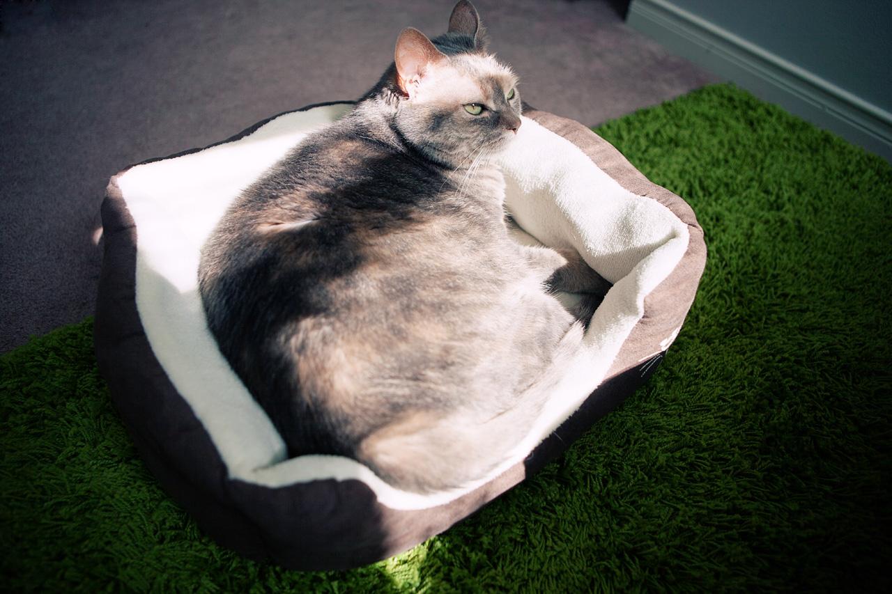 cat in sunbeam