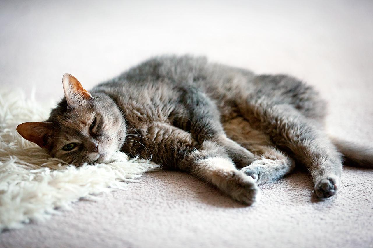 a flatso catso